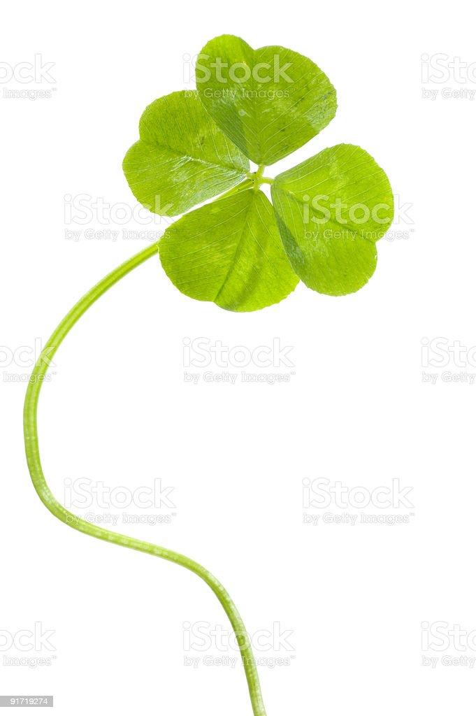 Lucky clover close-up stock photo