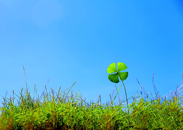 Lucky Clover on grass stock photo