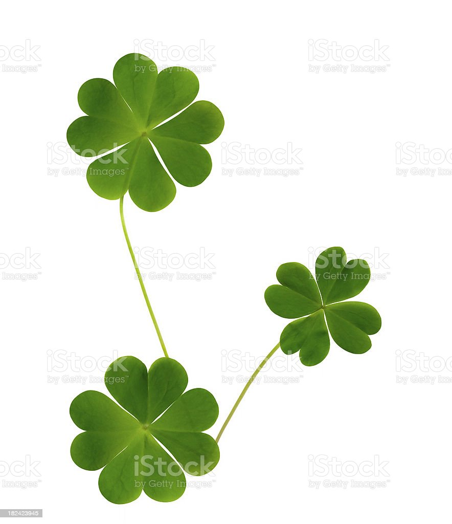 Lucky clovers Isolated on white background stock photo