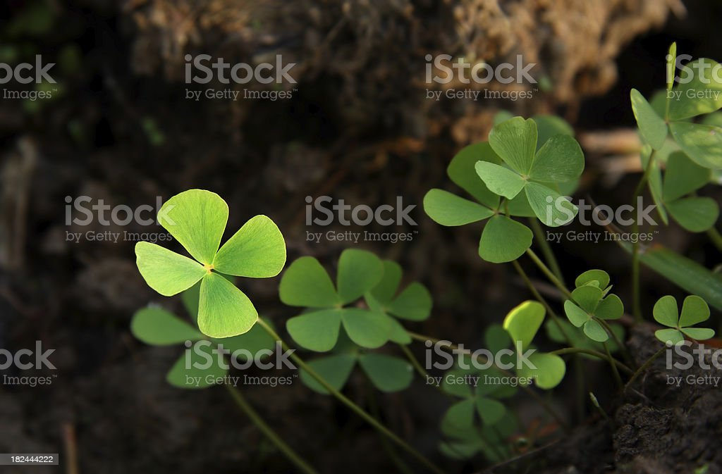 Lucky clovers royalty-free stock photo