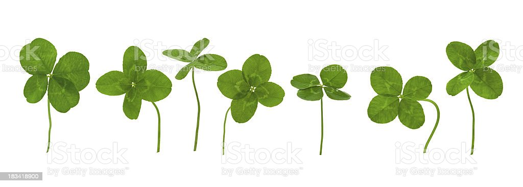 Lucky Clovers. royalty-free stock photo