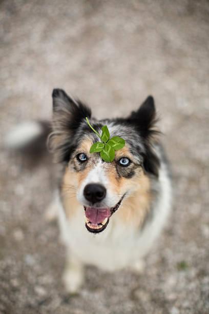 Lucky dog and four leaf clover picture id598529370?b=1&k=6&m=598529370&s=612x612&w=0&h=tr0  j5ud uh pr1qibbca8 7qzxjrayalymmtskwdg=