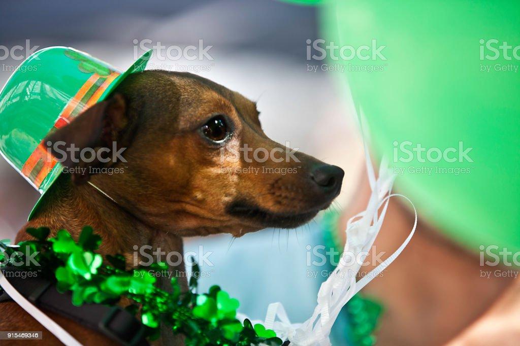 Lucky dog celebrated St. Patrick's Day stock photo