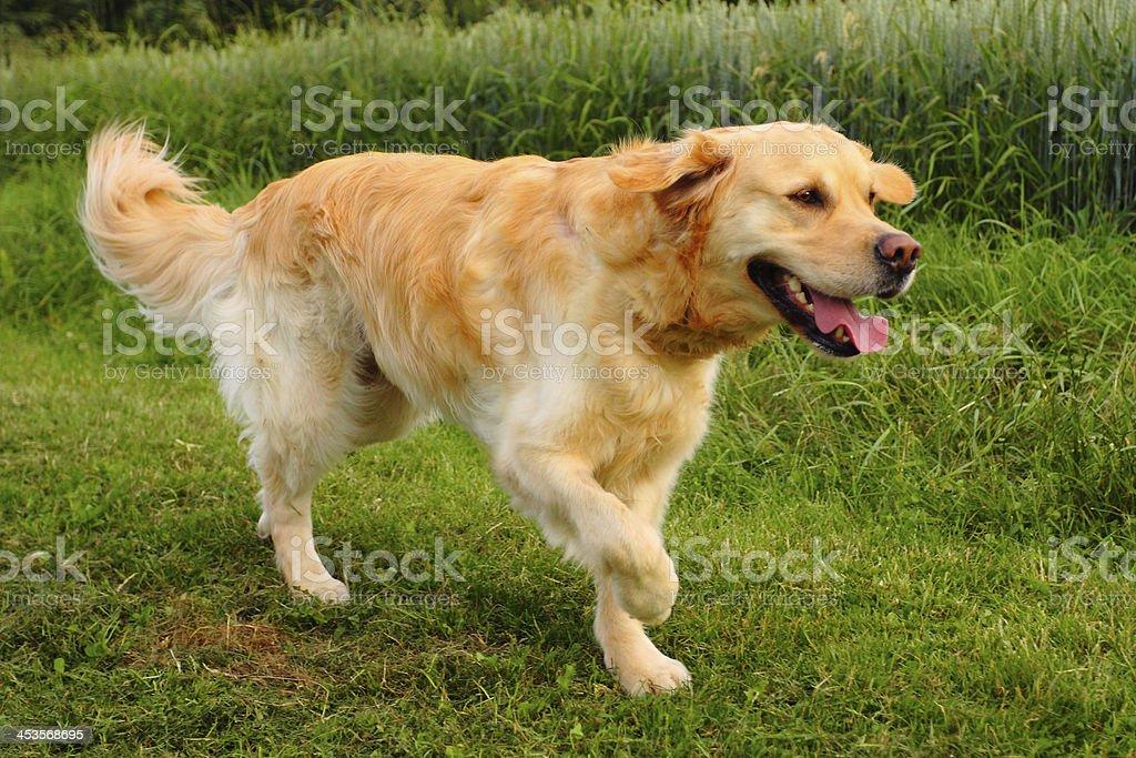 Lucky Golden Retriever royalty-free stock photo