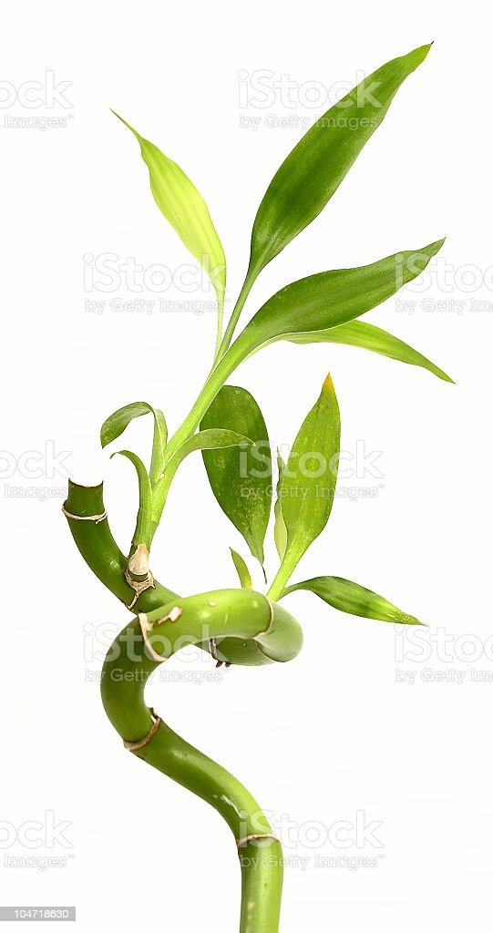 Lucky green bamboo on white background stock photo
