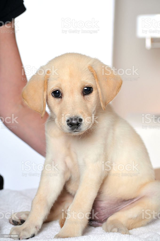 Lucky Young Labrador Puppy at the Dog Spa royalty-free stock photo