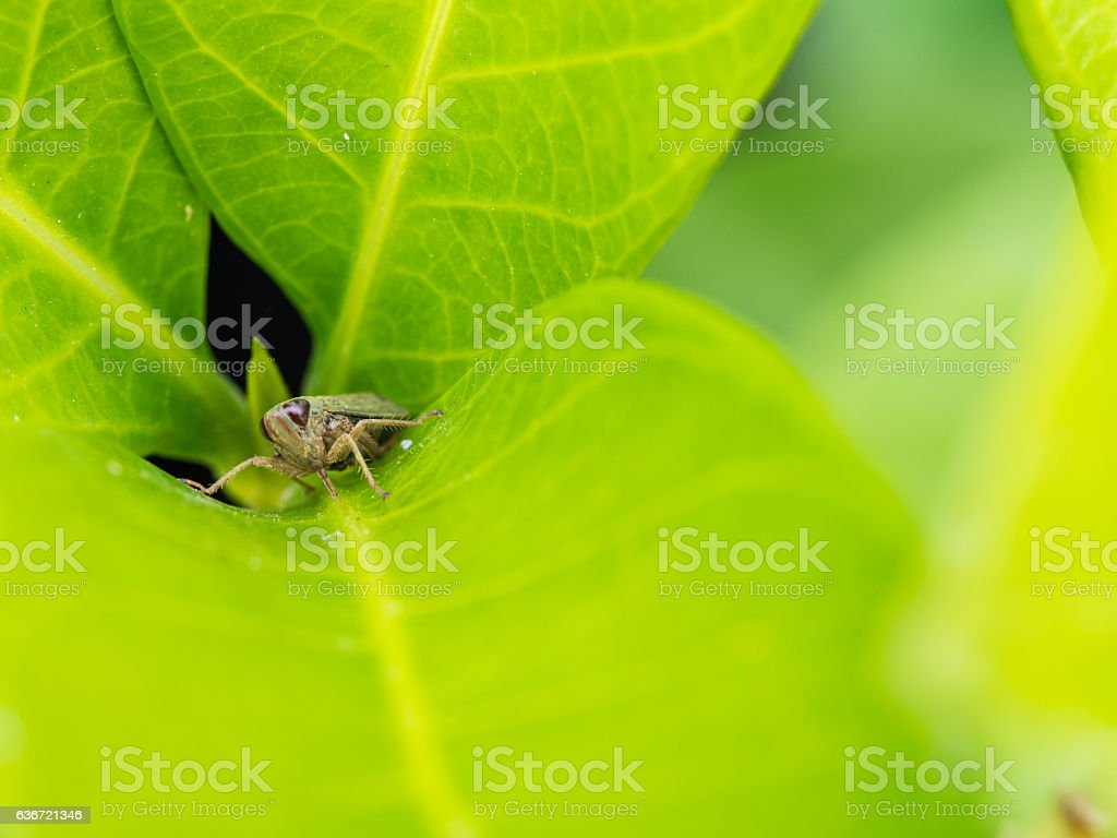 Lucust Perched on Green Leaf stock photo