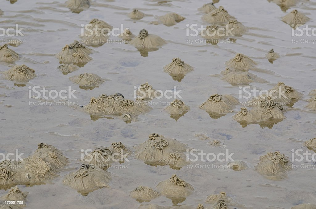 Lugworm or sandworm, Arenicola marina royalty-free stock photo