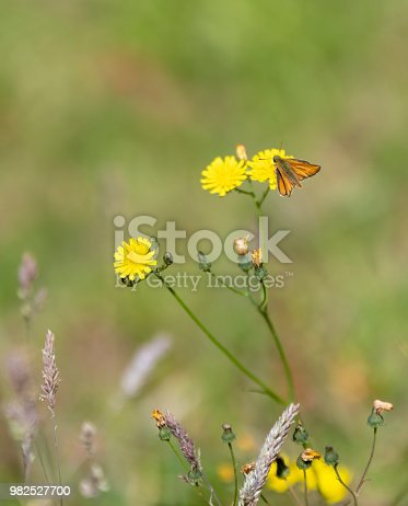 The rare 'Lulworth Skipper Butterfly' on a flower (Thymelicus acteon). They are only found near the coast in Dorset, England.