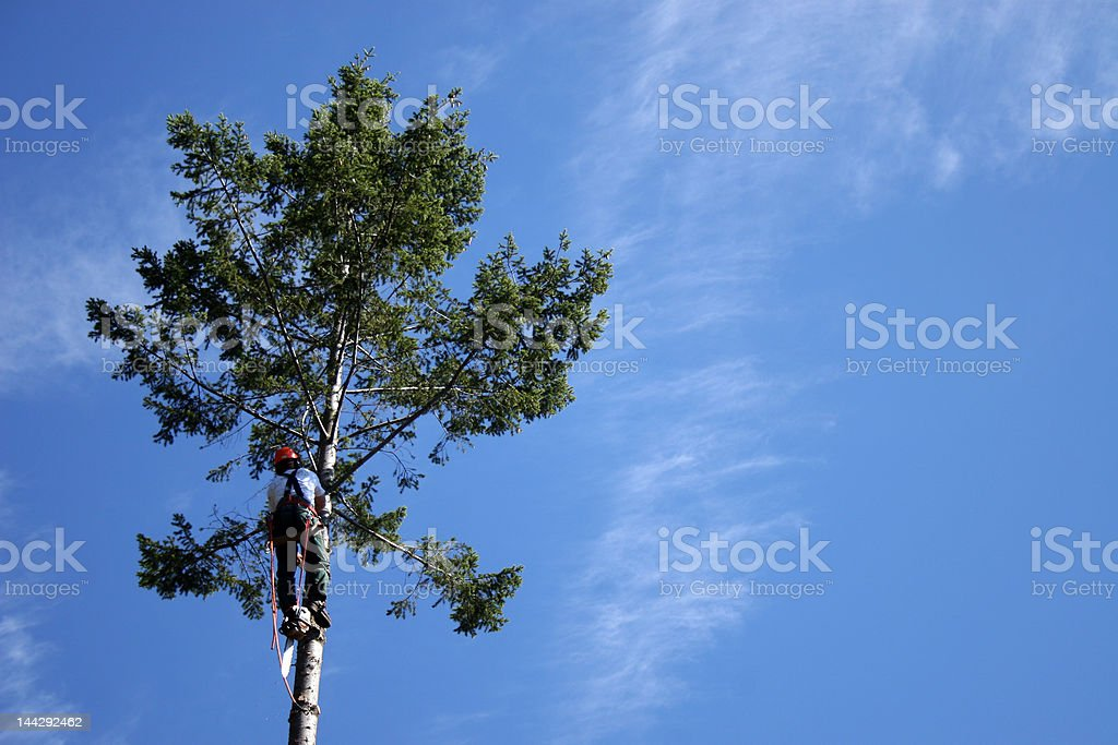 lumberjack climbing to top of tree royalty-free stock photo