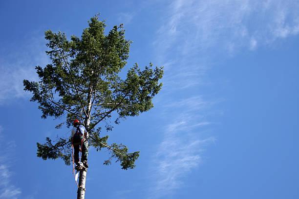 lumberjack climbing to top of tree stock photo
