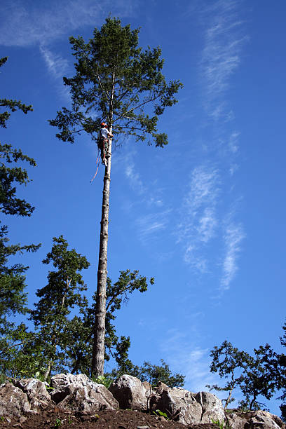 lumberjack climbing up tall tree stock photo