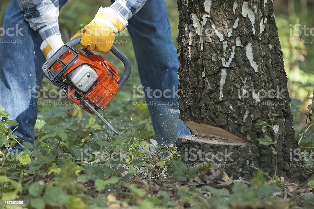 Lumberjack cuts down the tree by chainsaw stock photo