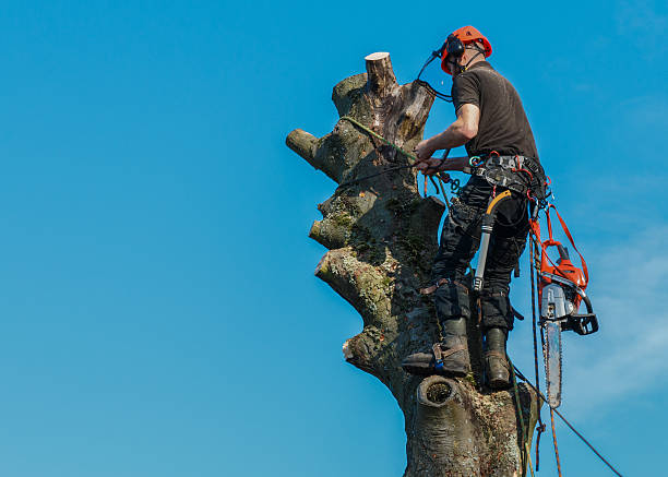 lumberjack roped working at the top of a tree. - tree surgeon stock photos and pictures