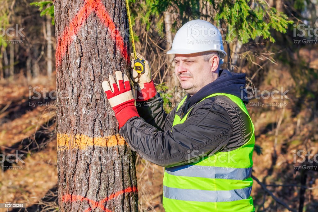 Lumberjack with a tape measure near the spruce in forest stock photo