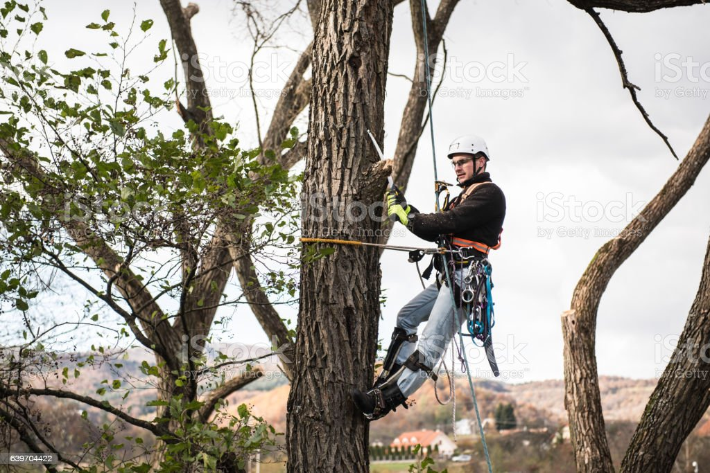 Lumberjack with saw and harness pruning a tree. stock photo