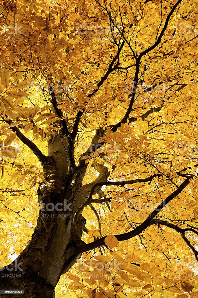 luminous beech tree in fall XXL - Herbstwald stock photo
