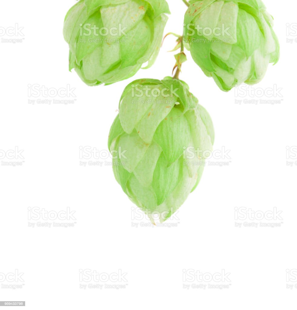 Lump of the beautiful hop. stock photo