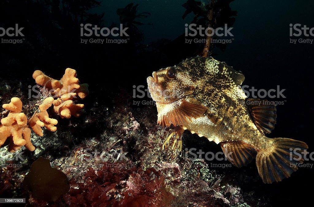 Lump Sucker fish stock photo