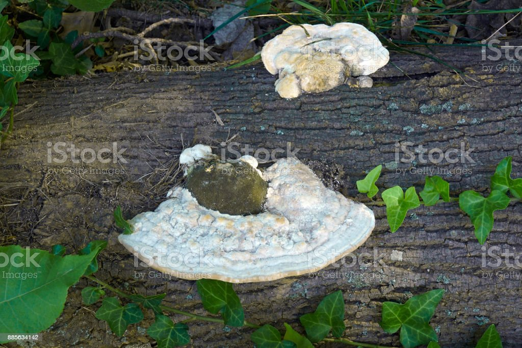 Lumpy bracket fungi stock photo