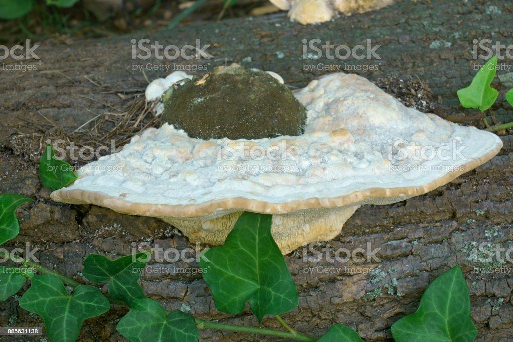 Lumpy bracket fungus stock photo