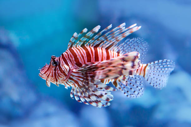 Luna lionfish (Pterois lunulata). Luna lion fish swimming in the blue water. stock photo