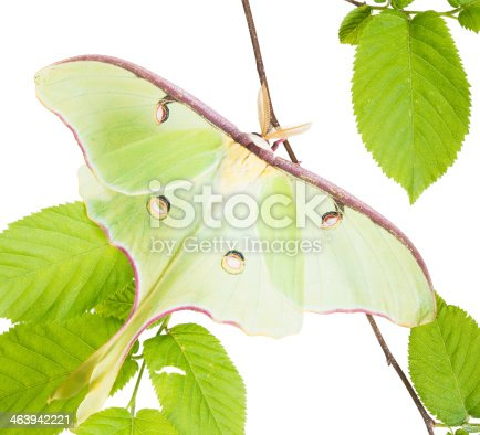 istock Luna Moth (Actias luna) beech branch isolated on white background 463942221