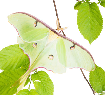 istock Luna Moth (Actias luna) beech branch isolated on white background 463942221