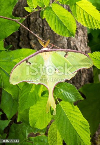 istock Luna Moth (Actias luna) branch in the sun 463729193