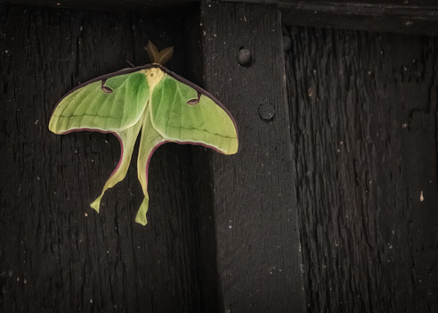 istock Luna Moth 1144673492