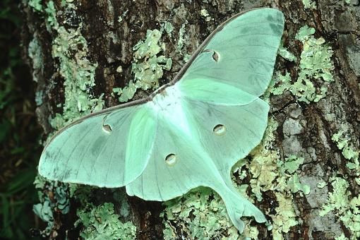 istock Luna Moth (Actias Luna) 1189665647