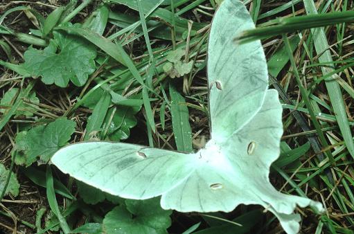istock Luna Moth (Actias Luna) 1189665828