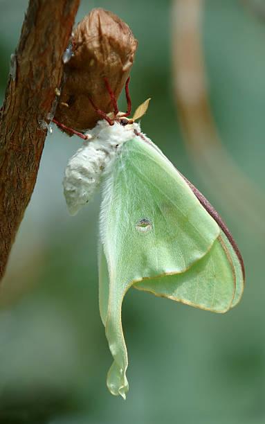 Luna Moth stock photo