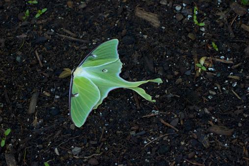 istock Luna Moth 179125872