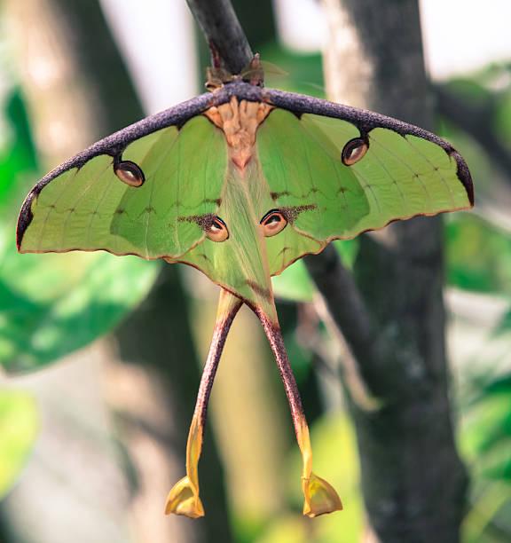 Luna moth picture id180812414?b=1&k=6&m=180812414&s=612x612&w=0&h=q8mwomfy5jfv9jqhw2vwjwurj01ok0wgo fstc2lj6a=