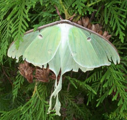 istock Luna Moth 503836493