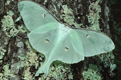 istock Luna Moth (Actias Luna) 946331464