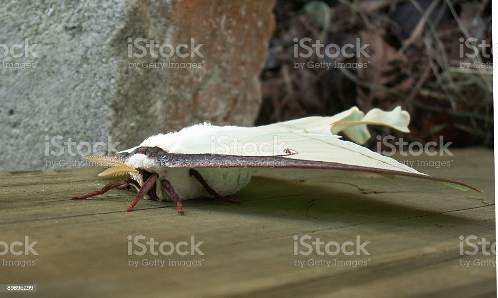 Luna Moth Side View royalty-free stock photo
