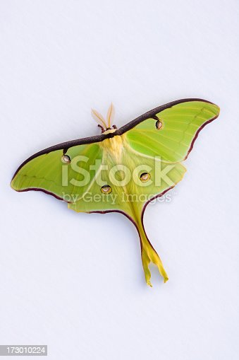 A Live Luna Moth (Actius Luna) with wings spread open, on a plain background.