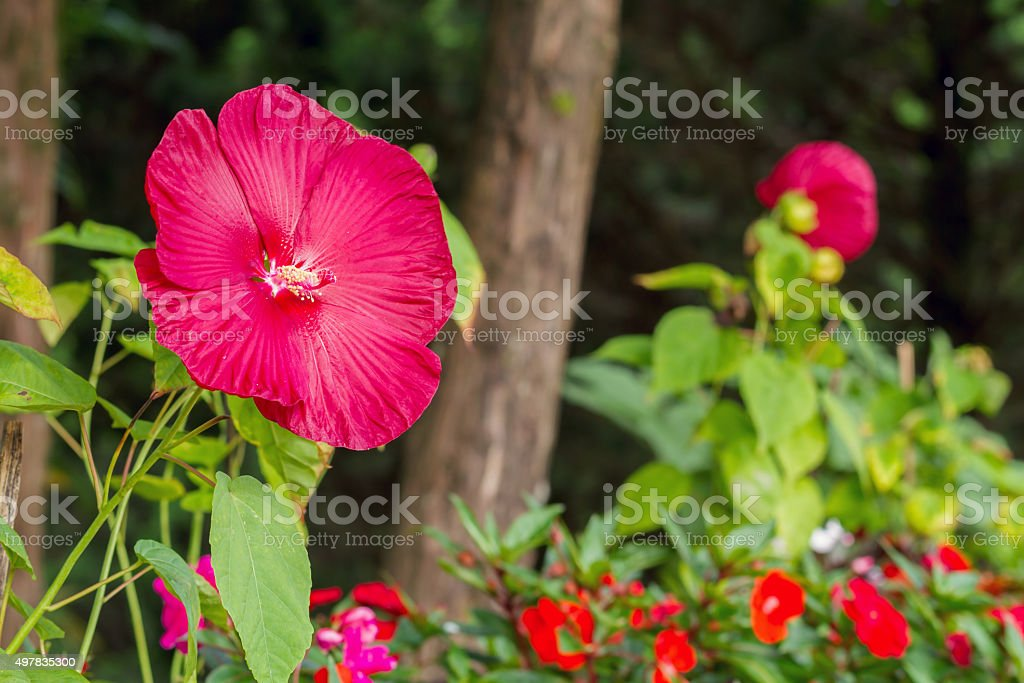 Luna Red Hibiscus Flower Stock Photo More Pictures Of 2015 Istock