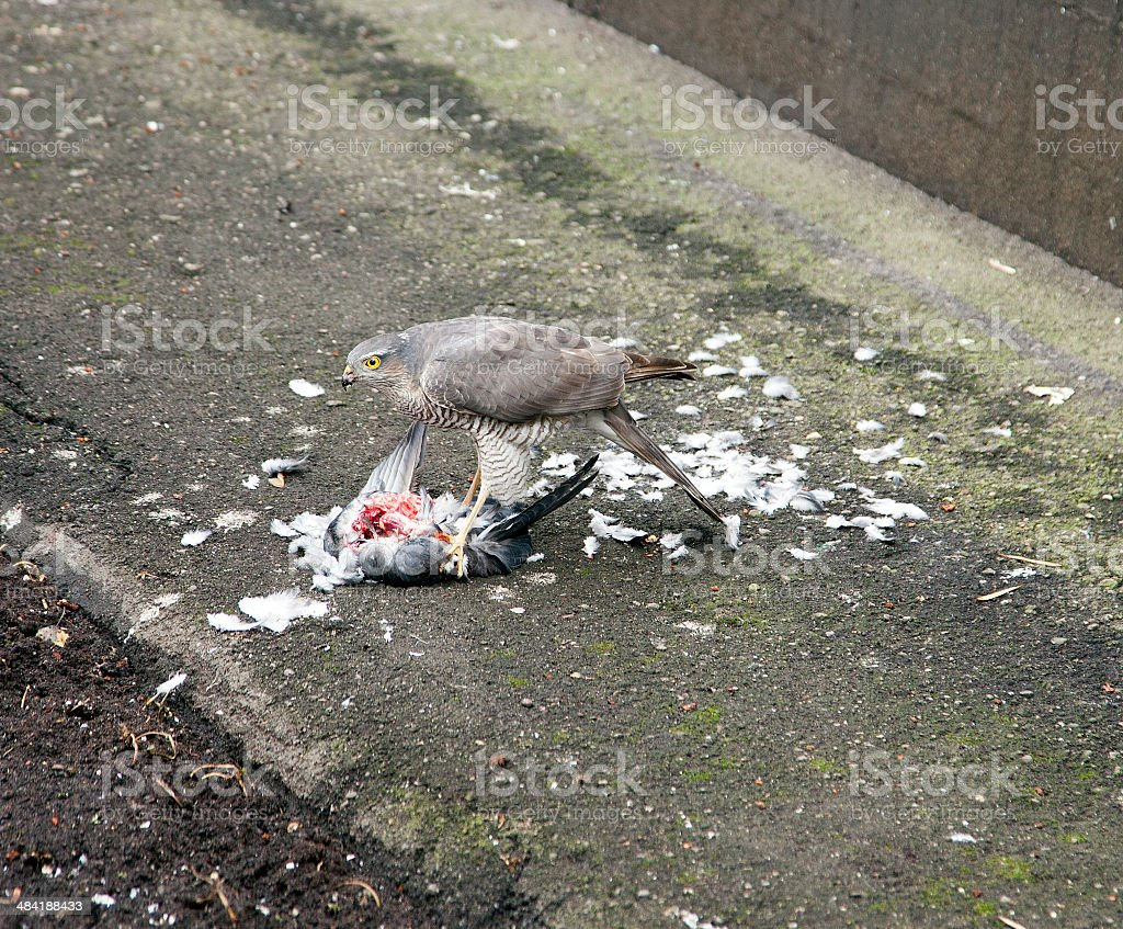 Lunch hawk. royalty-free stock photo