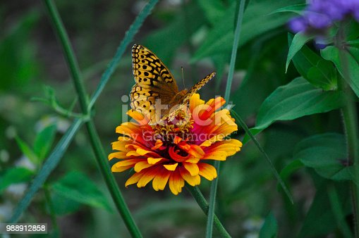 Butterfly on a flower in Ann Arbor Michigan
