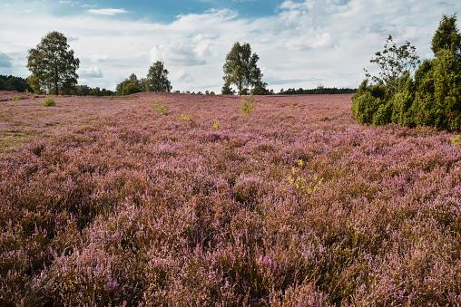 Luneburger Heath, blooming heather field