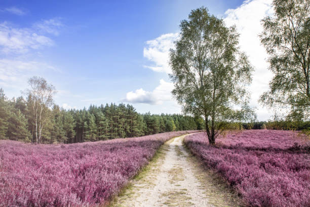 Luneburger Heath Path through heatherland with flowering heather in the Luneburger Heath lüneburg stock pictures, royalty-free photos & images