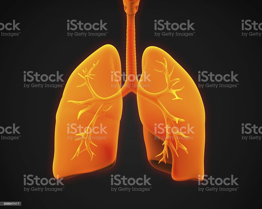 Lung and Bronchi stock photo