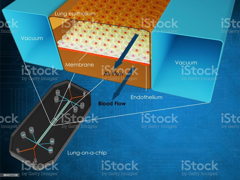 Lung-on-a-chip section stock photo