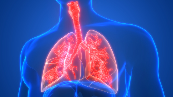 istock Lungs a Part of Human Respiratory System Anatomy 3d rendering 1221742230