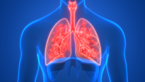 istock Lungs a Part of Human Respiratory System Anatomy 3d rendering 1221742780