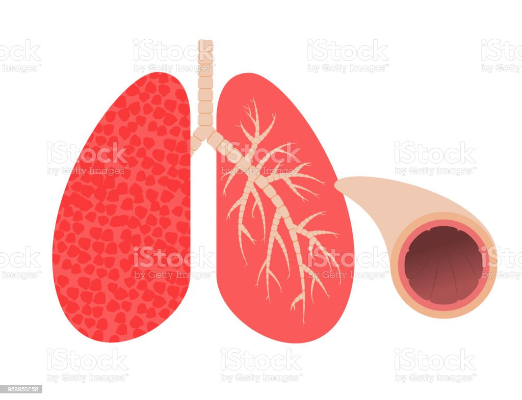 Lungs and bronchi. stock photo
