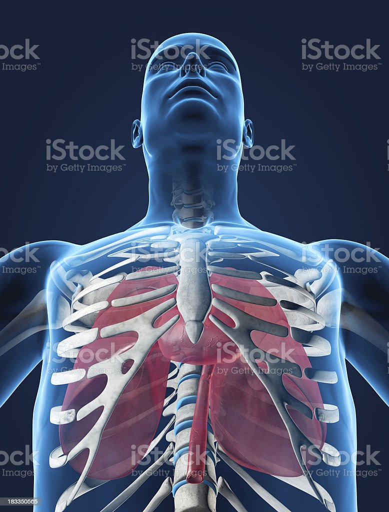 Lungs and heart in ribcage stock photo